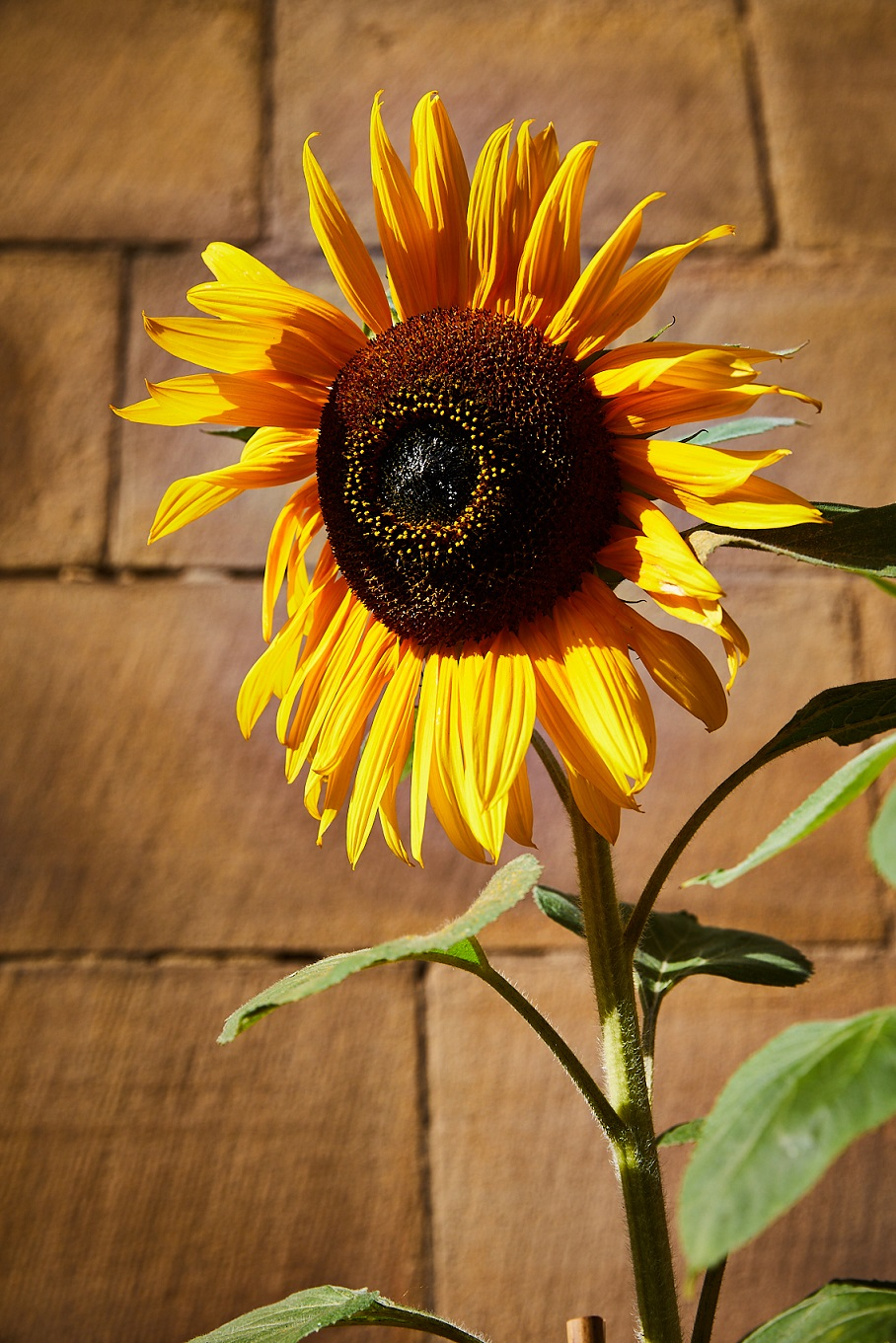 Close up on the head of a sunflower in full bloom